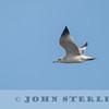 Mongolian Gull