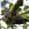 Dusky Turtle-Dove, Kenya