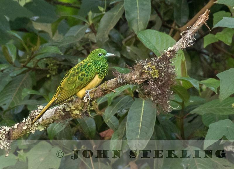 African Emerald Cuckoo, Mt Kenya
