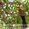 White-fronted Bee-eater, Kenya