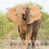 charging African Elephant, Tsavo, Kenya--NO cropping on this shot!!