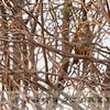 African Bare-eyed Thrush