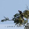 Black-and-white Casqued Hornbill, Kakemega Forest, Kenya