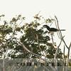 Trumpeter Hornbill, Kenya