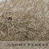 Von der Decken's Hornbill, Kenya