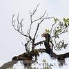 Silver-cheeked Hornbill,  Kenya