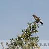 Grosbeak Weaver, Kenya