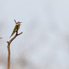 Madagascar Bee-eater, Kenya
