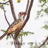 Red-billed Hornbill,  Kenya