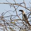 Jackson's Hornbill, Kenya