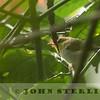 Yellow-throated Woodland Warbler, Kenya