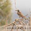 Gray Hornbill,  Kenya