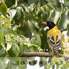 African Black-headed Oriole, Rift Valley, Kenya