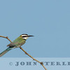 White-throated Bee-eater, Kenya