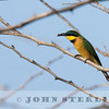 Little Bee-eater, Kenya