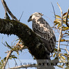 African Crowned Eagle, Kenya