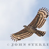 African Crowned Eagle, Kenya