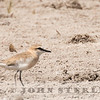 White-fronted Plover, Kenya