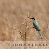 Somali Bee-eater,  Kenya