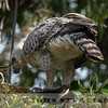 African Crowned Eagle, Kenya, eating a red-tailed monkey