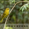 Joyful Greenbul, Kenya
