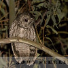 NW African Subspecies of Tawny Owl, High Atlas Mtns