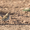 Greater Short-toed Lark, Morocco, April 2018