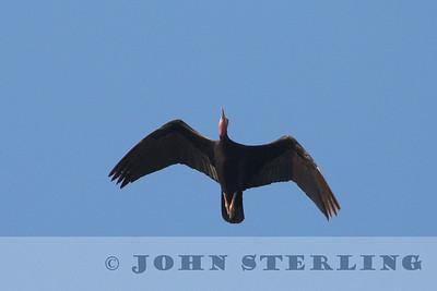 Northern Bald Ibis; critically endangered