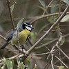 African Blue Tit, Morocco, April 2018
