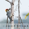 Golden-cheeked Woodpecker