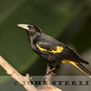 Yellow-winged Cacique