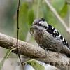 Gray-capped Woodpecker