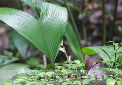 Violaceous Quail-Dove on nest