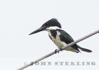 Sterling's Panama Birds
