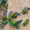 Blue-headed and Orange-cheeked parrots
