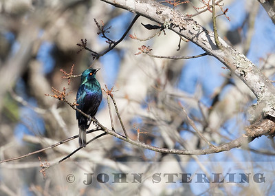 Black-bellied Starling