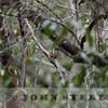 African Broadbill