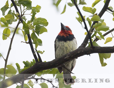 Black-collard Barbet