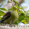 Sri Lanka Green Pigeon