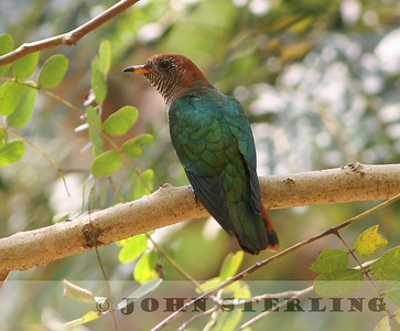 Asian Emerald Cuckoo female