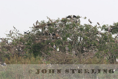 Asian Open-billed Stork colony
