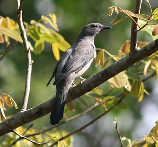 Black-winged Cuckoo-Shrike female