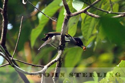 Sterling's Thailand Birds