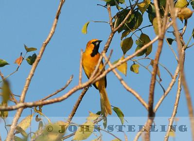 Sterling's Yucatan Birds