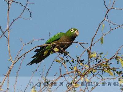 Aztec Parakeet