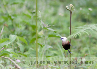 White-headed Munia; Gayo Highlands, Aceh Province, Sumatra; March 2011