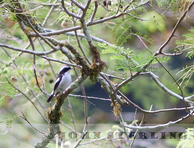 Little Pied Flycatcher; Gayo Highlands, Aceh Province, Sumatra; March 2011