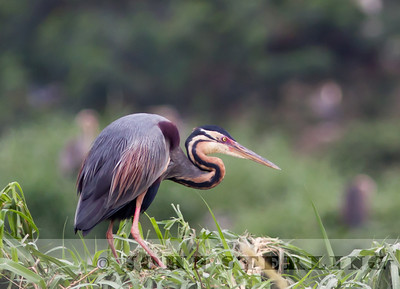 Purple Heron; Medan; Sumatra; March 2011