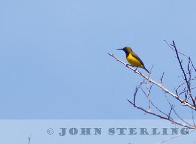 Olive-backed Sunbird; Gayo Highlands, Aceh Province, Sumatra; March 2011