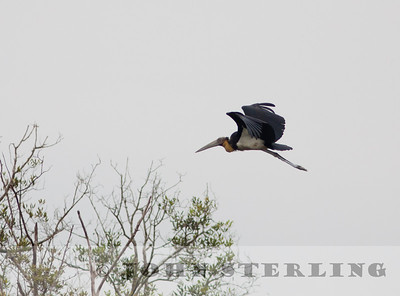 Lesser Adjundant Stork; coastal Medan near Percut; Sumatra; March 2011